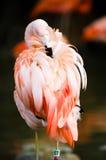 фламинго Стоковые Фотографии RF