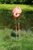 фламинго Стоковое Изображение