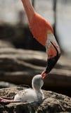 фламинго caribbean птицы младенца Стоковое Изображение RF