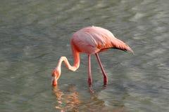 фламинго galapagos Стоковые Изображения RF