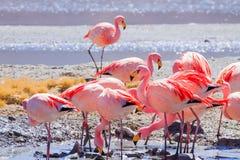 Фламинго Laguna Hedionda, Боливия стоковые изображения