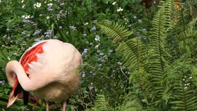 Фламинго, roseus Phoenicopterus, отдыхая в озере среди деревьев сток-видео