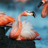 Фламинго (ruber Phoenicopterus) на гнезде. Стоковое Изображение RF