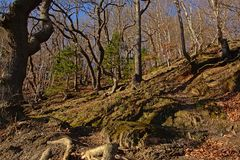 Фланк холма в солнечном лесе весны с курчавыми чуть-чуть деревьями в Арденн стоковое изображение rf