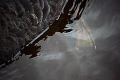 Флиппер черного лебедя в воде стоковое фото rf