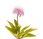 Флора Gran Canaria, dumetorum Pterocephalus, scabiou горы Стоковые Изображения RF