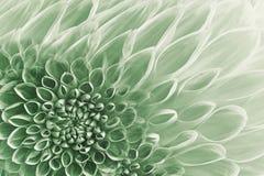 Флористическая бело-зеленая предпосылка Цветет конец-вверх георгинов Цветет состав стоковые фото