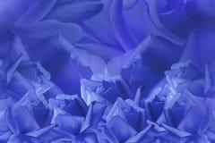 Флористическая голубая красивая предпосылка от роз тюльпаны цветка повилики состава предпосылки белые Голубые розы на голубой пре Стоковое Фото