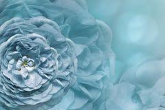 Флористическая голубая красивая предпосылка тюльпаны цветка повилики состава предпосылки белые Поздравительная открытка от бело-г Стоковое Изображение