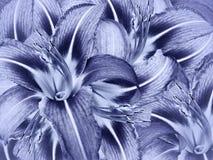 Флористическая голубая предпосылка Свет цветков - голубой конец-вверх лилии Лепестки лилий стоковые фотографии rf