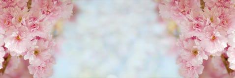 Флористическая граница при красивая Сакура зацветая в солнечном дне Романтичное знамя с цветками против предпосылки bokeh Стоковые Фото