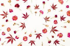 Флористическая концепция красных кленовых листов и высушенных красных или розовых роз на белой предпосылке Плоское положение, взг Стоковое Изображение