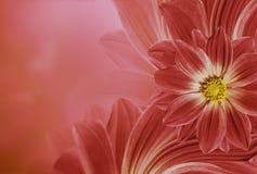 Флористическая красная красивая предпосылка Состав цветка маргаритки цветков установьте текст Стоковое Изображение