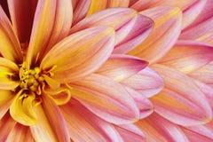 Флористическая красочная желт-розов-белая красивая предпосылка тюльпаны цветка повилики состава предпосылки белые Конец-вверх цве Стоковые Фото