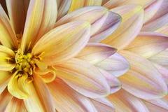 Флористическая красочная желт-фиолетов-белая красивая предпосылка тюльпаны цветка повилики состава предпосылки белые Конец-вверх  Стоковая Фотография RF