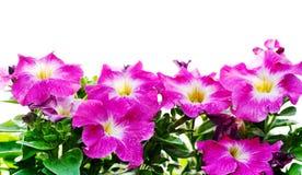 флористическая петунья рамки Стоковые Изображения RF