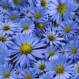 Флористическая предпосылка голубых маргариток Конец-вверх тюльпаны цветка повилики состава предпосылки белые Стоковые Фото