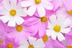 Флористическая предпосылка космоса света - розового и белого цветет Плоское положение Стоковые Изображения RF