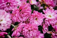 Флористическая предпосылка розовых хризантем стоковые изображения rf