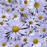 Флористическая предпосылка света - голубых маргариток Конец-вверх тюльпаны цветка повилики состава предпосылки белые Стоковые Изображения