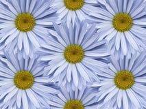Флористическая предпосылка света - голубых стоцветов Конец-вверх тюльпаны цветка повилики состава предпосылки белые Стоковые Изображения
