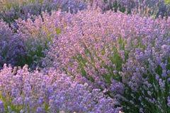 Флористическая предпосылка с душистыми фиолетовыми кустами лаванды Стоковая Фотография