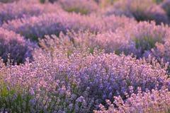Флористическая предпосылка с душистыми фиолетовыми кустами лаванды Стоковое Фото