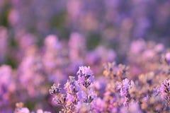 Флористическая предпосылка с душистыми фиолетовыми кустами лаванды Стоковые Фото