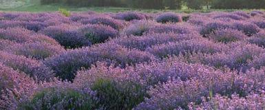 Флористическая предпосылка с душистыми фиолетовыми кустами лаванды стоковые изображения rf