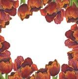 Флористическая рамка красных тюльпанов иллюстрация вектора
