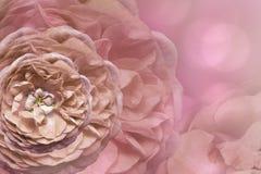 Флористическая розовая красивая предпосылка тюльпаны цветка повилики состава предпосылки белые Поздравительная открытка от розовы Стоковые Изображения