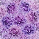 Флористическая розов-фиолетовая красивая предпосылка тюльпаны цветка повилики состава предпосылки белые Букет цветков от розовых  Стоковое фото RF