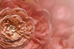Флористическая светлая красная красивая предпосылка тюльпаны цветка повилики состава предпосылки белые Поздравительная открытка о Стоковое Изображение RF