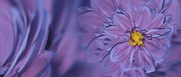 Флористическая сине-розовая предпосылка цветков георгина цветок расположения яркий Открытка для торжества closeup Стоковое Изображение RF