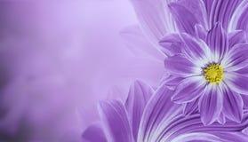 Флористическая фиолетовая красивая предпосылка Состав цветка маргаритки цветков установьте текст Стоковые Фото
