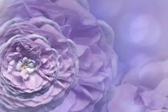 Флористическая фиолетов-голубая красивая предпосылка тюльпаны цветка повилики состава предпосылки белые Поздравительная открытка  Стоковое Фото