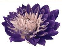 Флористическая фиолетов-розовая красивая предпосылка Георгины цветков красно-желтые тюльпаны цветка повилики состава предпосылки  Стоковая Фотография RF