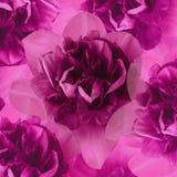 Флористическое pinkbackground daffodils тюльпаны цветка повилики состава предпосылки белые Конец-вверх Стоковые Изображения RF