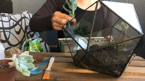 Флорист женщины засаживает succulent к стеклянному геометрическому terrarium Конец-вверх сток-видео