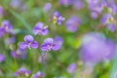Фокус абстрактной нежности запачканный и мягкий общего Spiderwort, nudiflora Murdannia, Commelinaceae, засорителя цветка Стоковые Фотографии RF