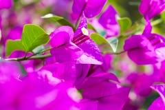 Фокус бумажного цветка бугинвилии селективный с малой глубиной  Стоковое Фото