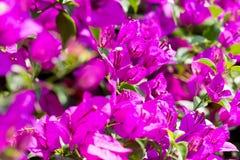 Фокус бумажного цветка бугинвилии селективный с малой глубиной  Стоковая Фотография RF