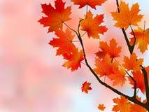 фокус выходит светлому клену померанцовое отмелое Стоковое Фото