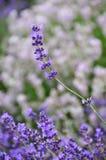 Фокус завода лаванды на одиночном фиолетовом стержне цветка Стоковая Фотография