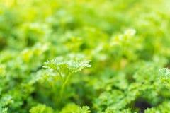 Фокус лист кориандра селективный Стоковые Фото
