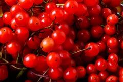 Фокус красных ягод калины селективный Стоковые Фото