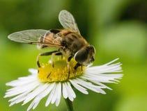Фокус макроса насекомых стоковое изображение