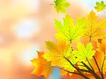 фокус осени выходит клен отмелой очень Стоковое Фото
