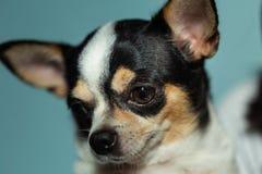 Фокус портрета крупного плана на глазах собаки Стоковое Фото
