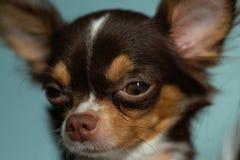 Фокус портрета крупного плана на глазах собаки Стоковая Фотография